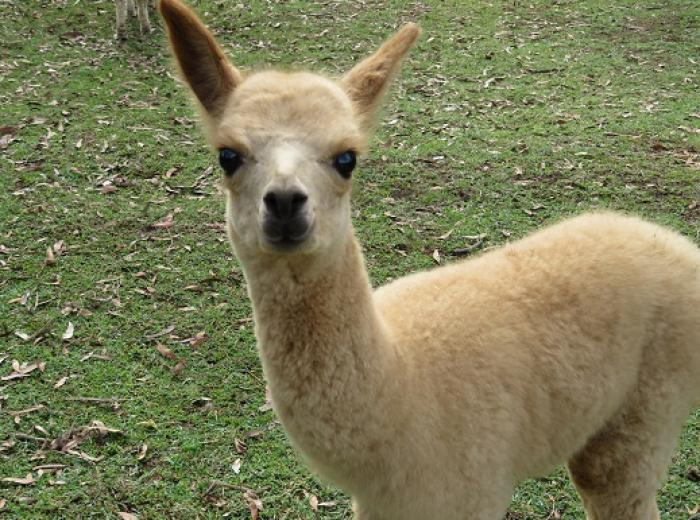 Superfine Alpacas For Sale